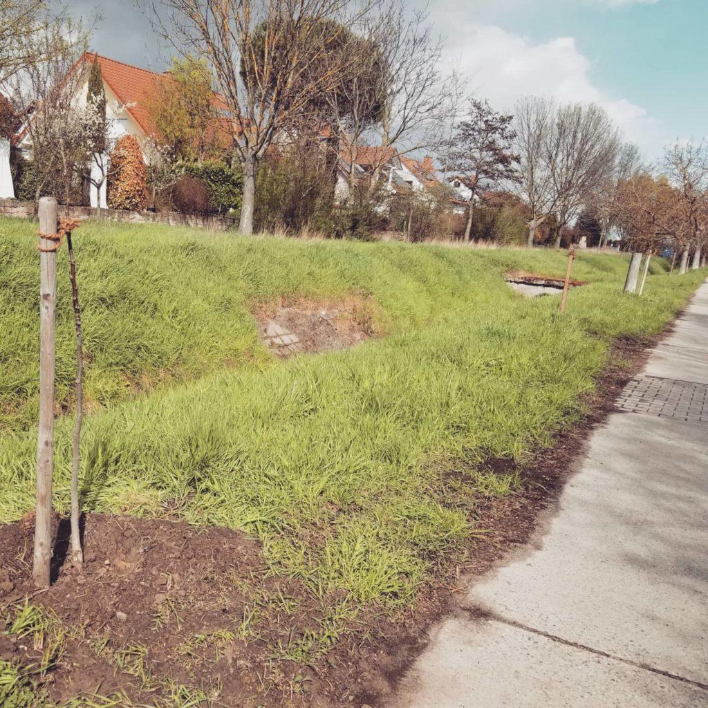 Neue Nussbäume am Weinbach in Niederkirchen